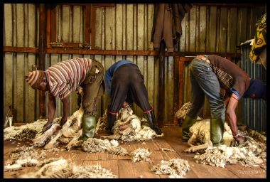 three-shearing
